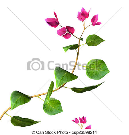 Stock Photography of Bougainvillea is a genus of thorny ornamental.