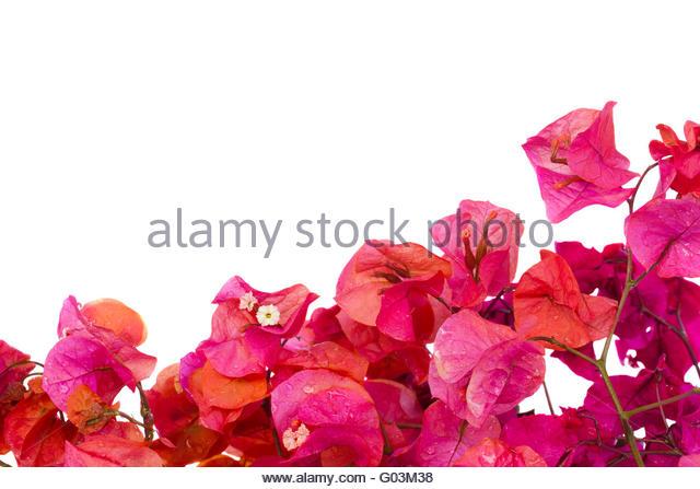 Orange Bougainvillea Flowers Stock Photos & Orange Bougainvillea.