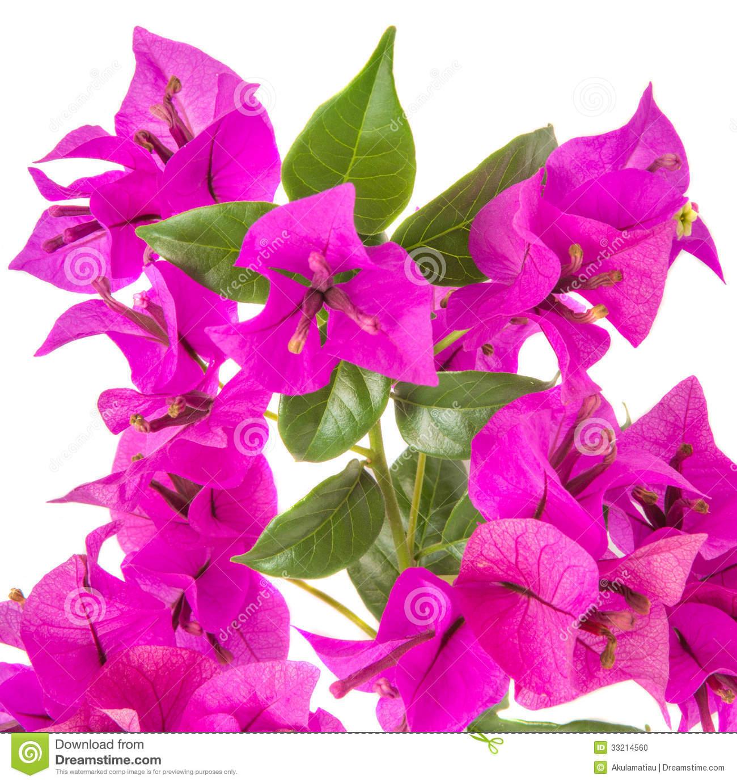 Bougainvillea Stock Photo.