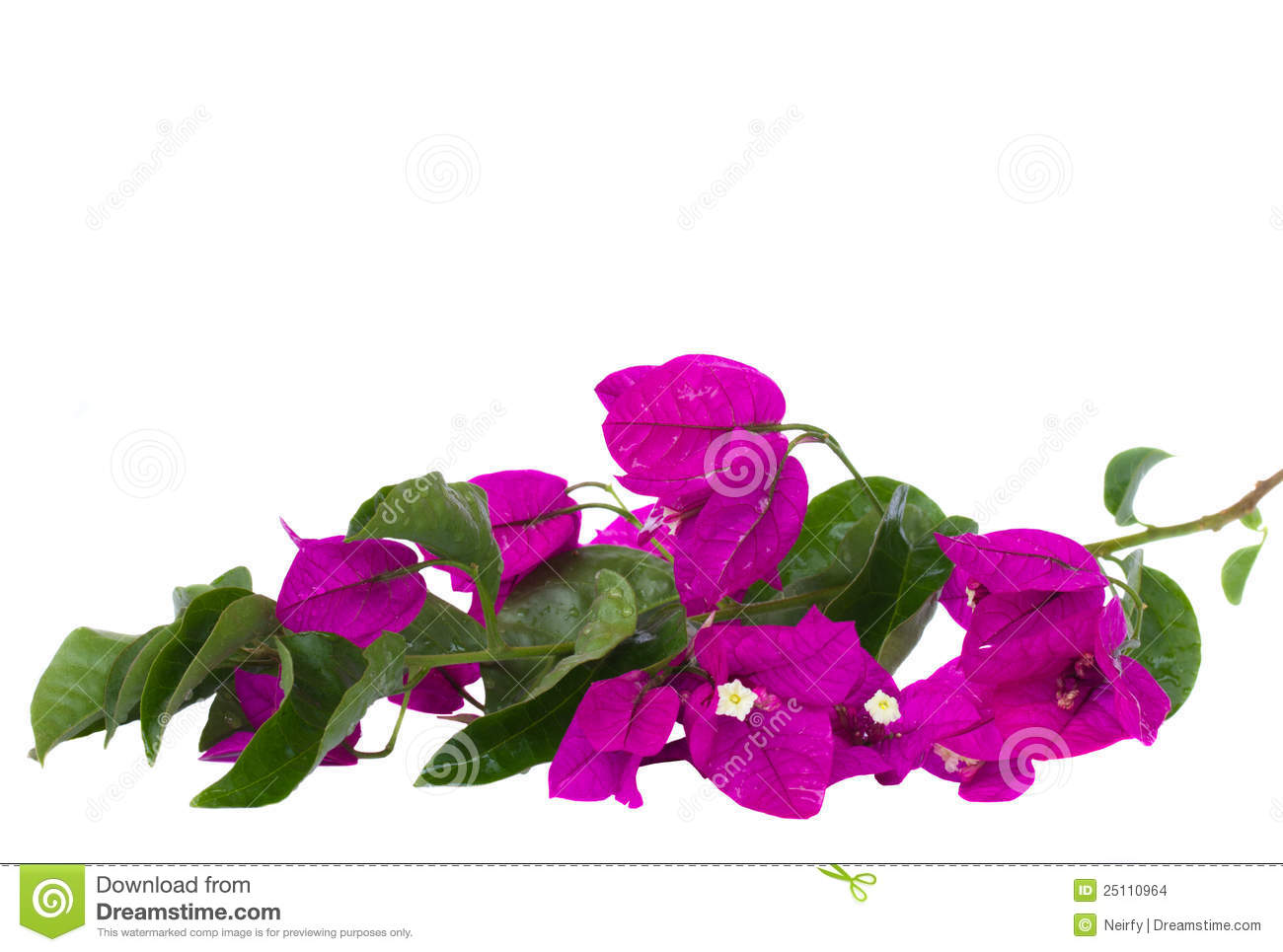 Brunch Of Bougainvillea Flowers Stock Images.