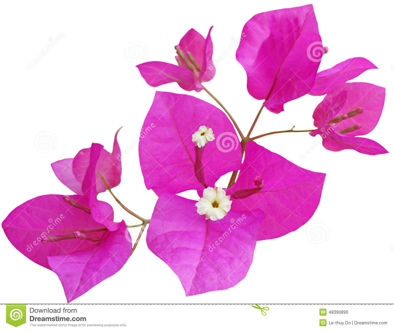 Bougainvillea Flower Stock Photo.