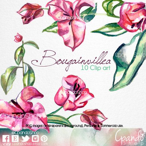 Bougainvillea hand painted watercolor clip art (10 png images with.