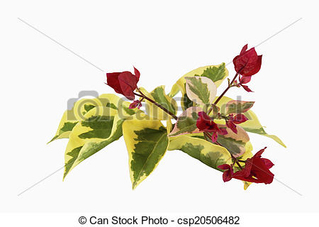 Pictures of Red Flowers and Variegated Leaves of Bougainvillea.