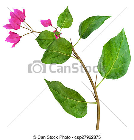 Picture of Bougainvillea is a genus of thorny ornamental vines.
