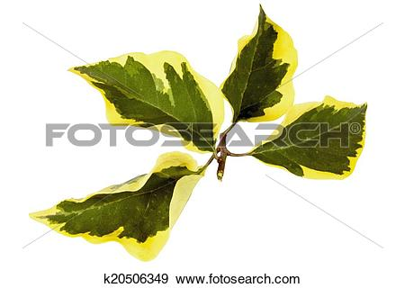 Stock Photograph of Sprig of Four Variegated Leaves of.