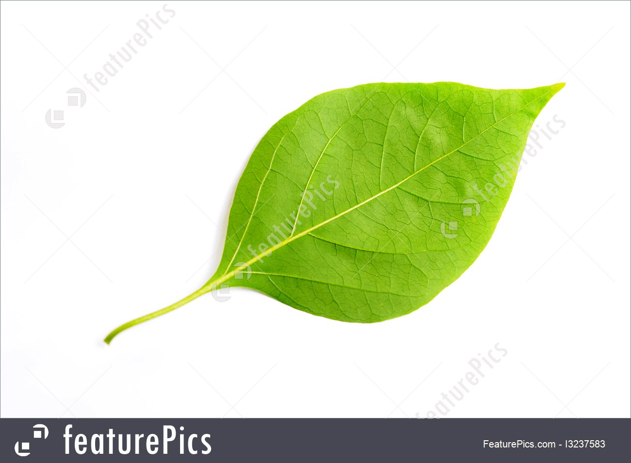 Plants: Leaf Of Bougainvillea.