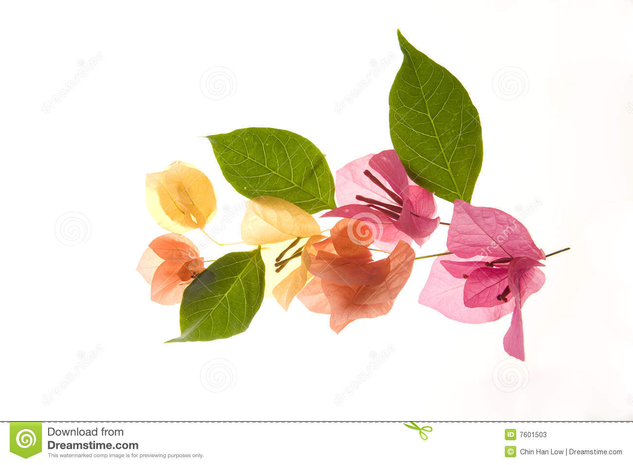 Bougainvillea Leaves Royalty Free Stock Images.