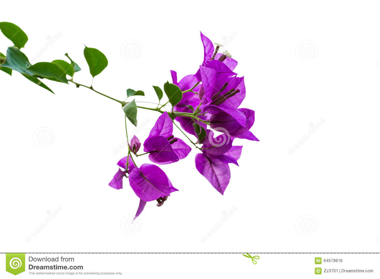 Purple Bougainvillea Flowers With Green Leaves Stock Photo.