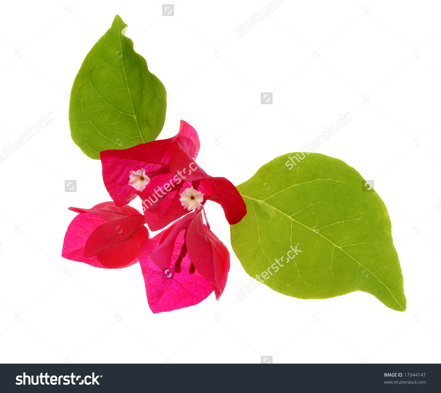 Bougainvillea Flower With Leaves Stock Photo 17944147 : Shutterstock.