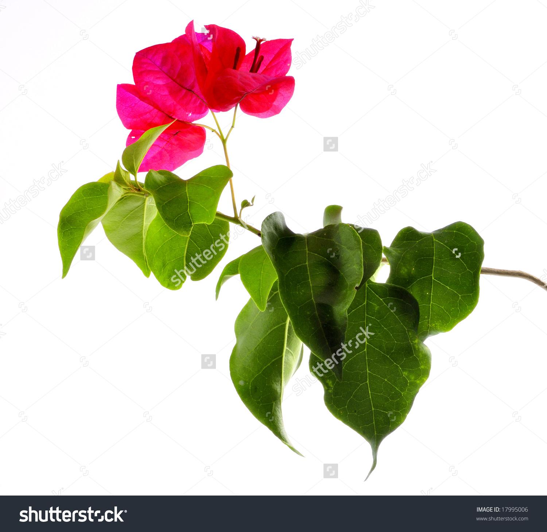 Bougainvillea Flower Leaves Stock Photo 17995006.