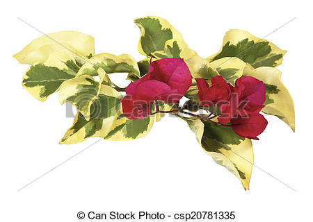 Stock Photos of Sprig of Variegated Bougainvillea Leaves with.