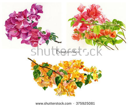 Bougainvillea Stock Photos, Royalty.