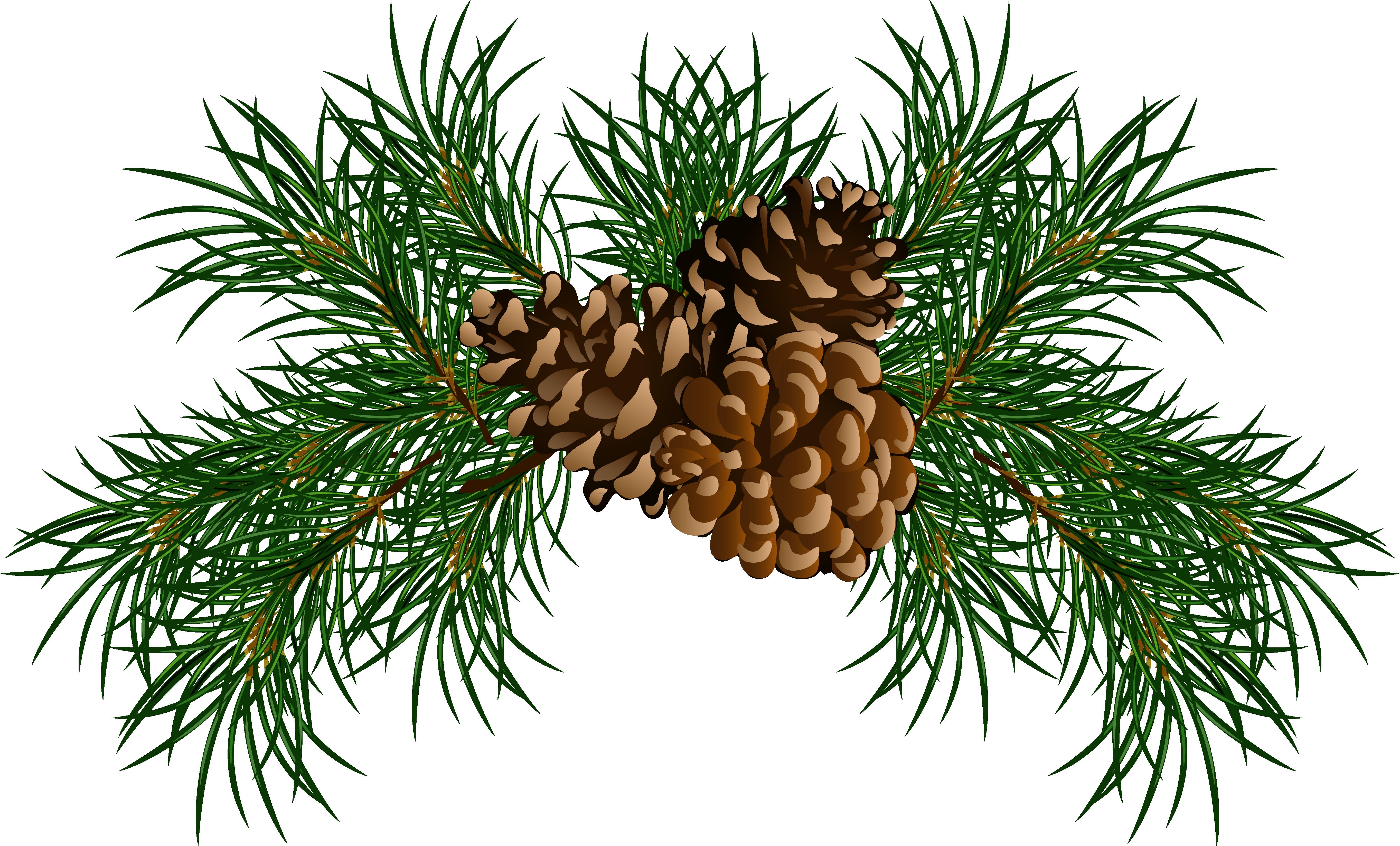 Pine bough clipart.