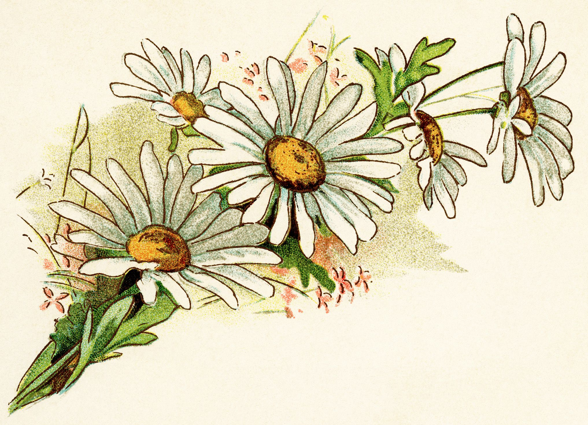 vintage daisy image, free digital floral graphics, cluster of.