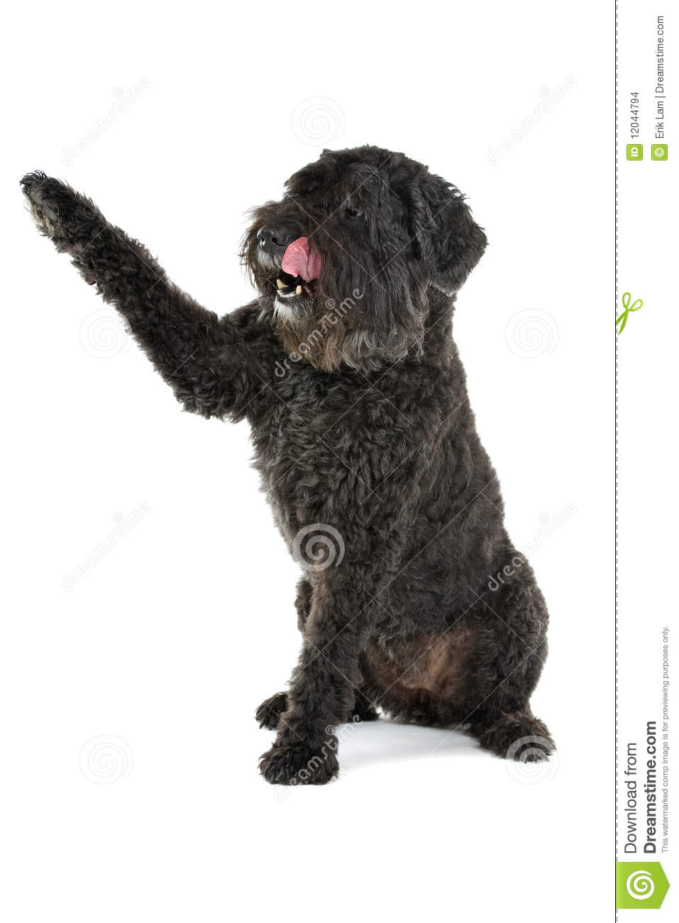 Bouvier Des Flandres Stock Images.