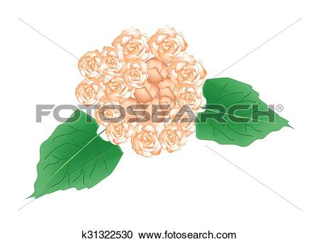 Clipart of Beautiful Glory Bower Flowers or Clerodendrum Chinense.