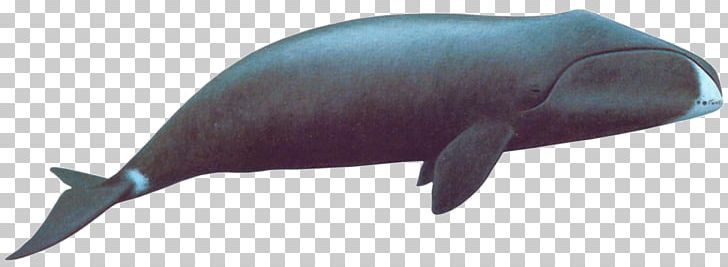 Bowhead Whale PNG, Clipart, Animals, Sea Animals Free PNG.