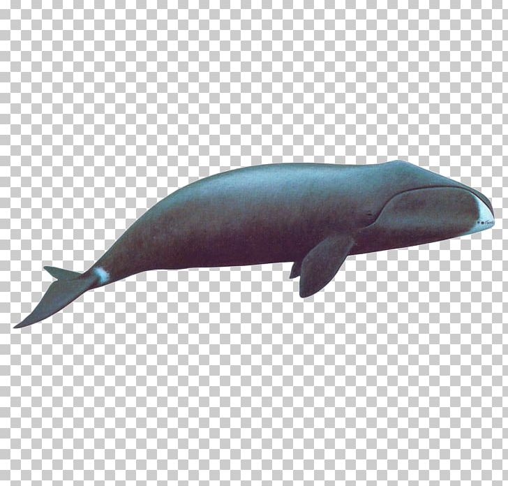 Right Whales Sperm Whale Rorqual Whale Conservation Bowhead.
