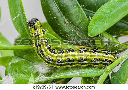 Stock Photography of Caterpillar of the box tree moth (Cydalima.