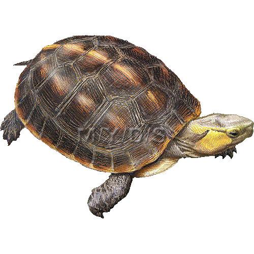 Chinese Box Turtle, Snake.