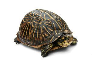 File:Florida Box Turtle Digon3.jpg.