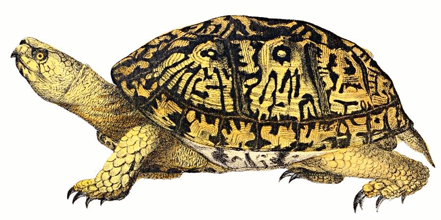Eastern box turtle vintage.