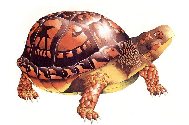 Box turtle clipart.