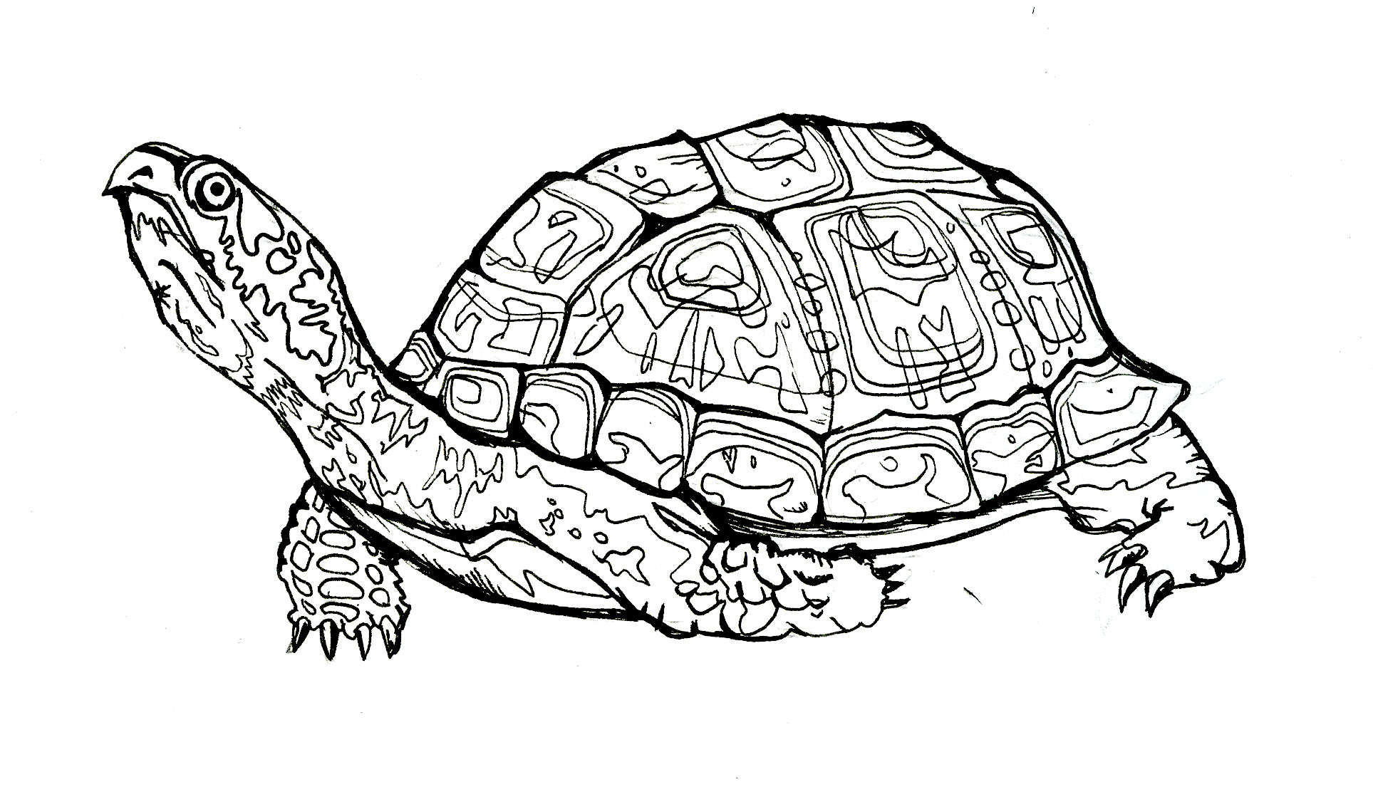 Box turtle clipart black white.