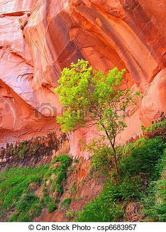 Picture of Box Elder Tree.