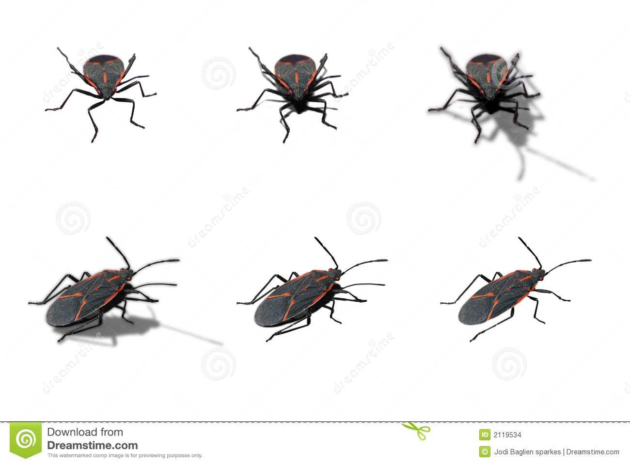 Box Elder Bug Stock Images.