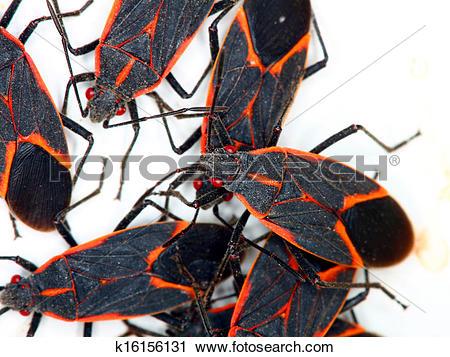 Stock Photography of Boxelder Bugs (Boisea trivittata) k16156131.