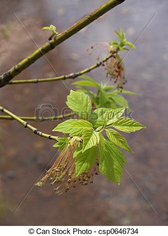 Stock Photo of Boxelder with new leaves.