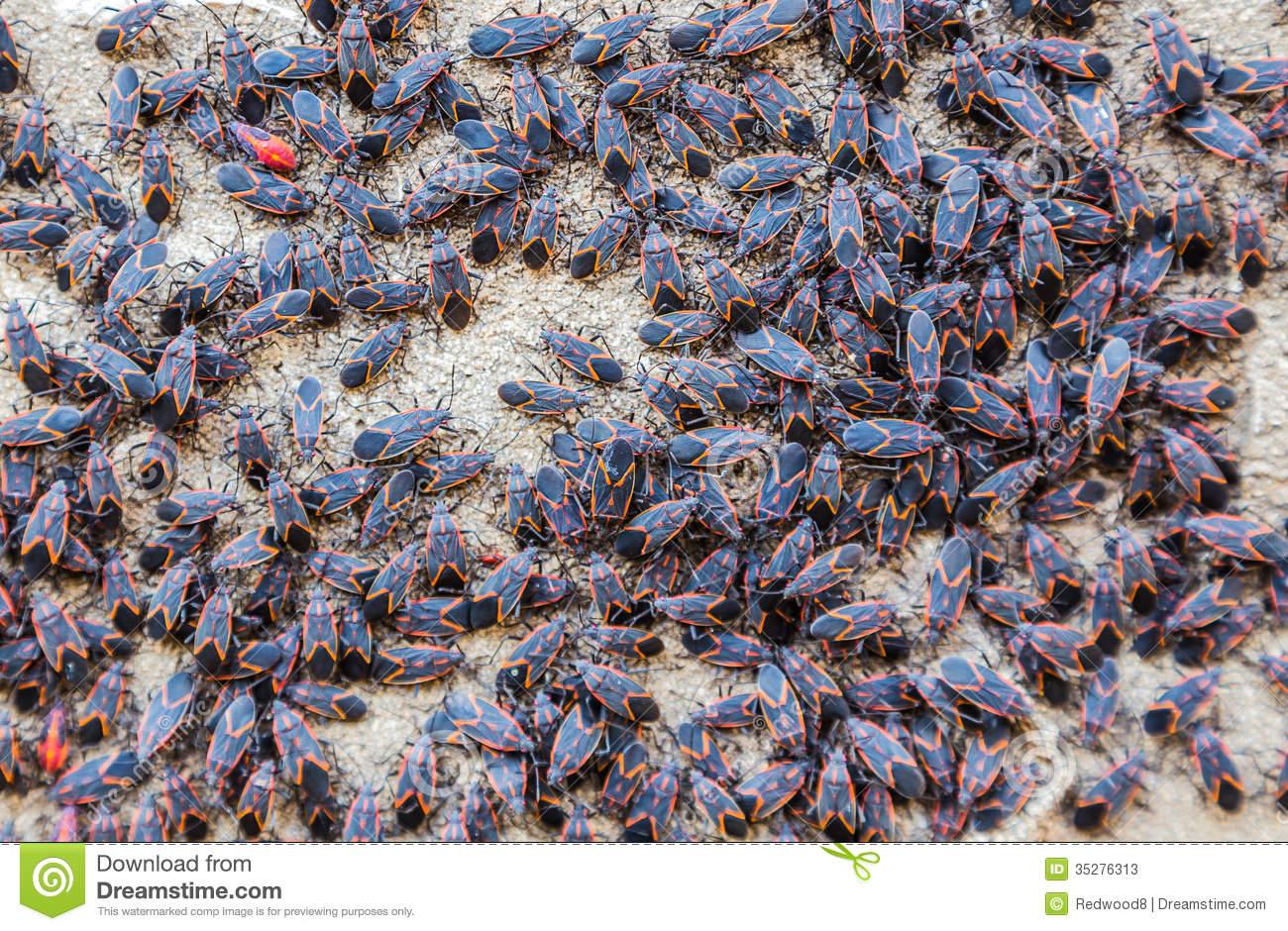 Box Elder Bugs Stock Photos.