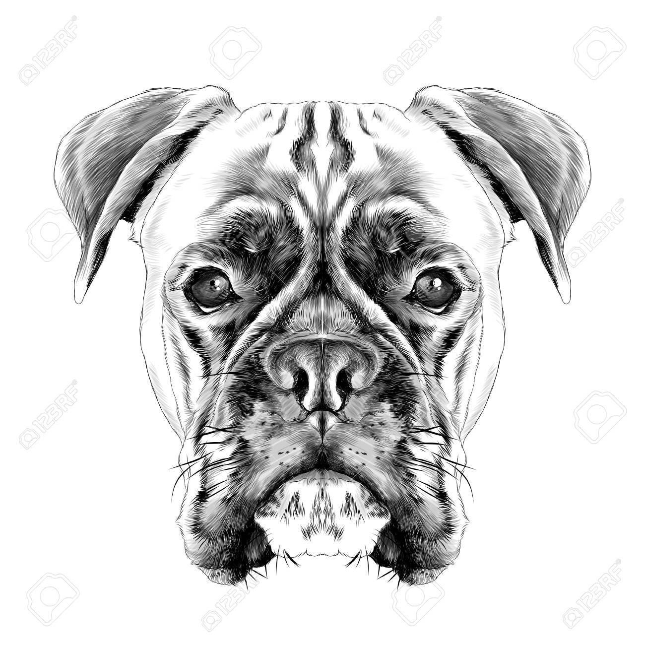 the head of the dog breed boxer dog collar c a vector sketch...