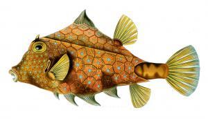 Box Fish Clip Art Download.