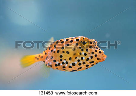 Pictures of yellow boxfish / Ostracion cubicus 131458.