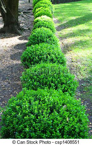 Stock Photography of Japanese Boxwood Schrubs.