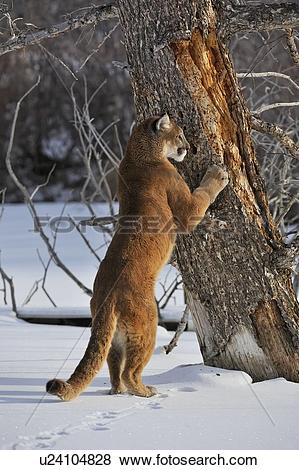 Pictures of Cougar, Puma, Mountain lion (Puma concolor) Sharpening.