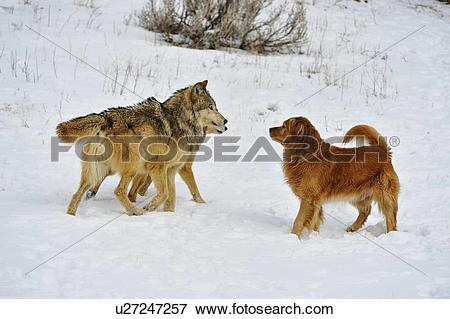 Picture of Gray wolf (Canis lupus) interacting with domestic dog.
