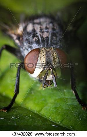 Pictures of Diptera Brachycera House Fly k37432028.