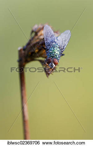 "Stock Images of ""Fly (Brachycera), with water drops, Vulkaneifel."