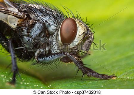 Stock de fotografía de brachycera, casa, mosca, Diptera.