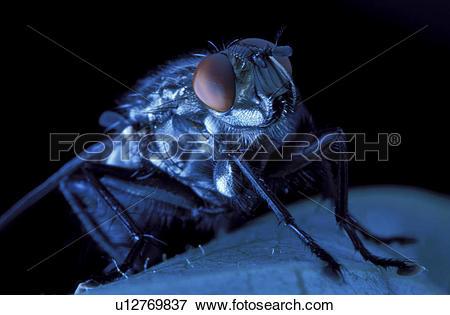 Picture of domestica, brachycera, compound, close.