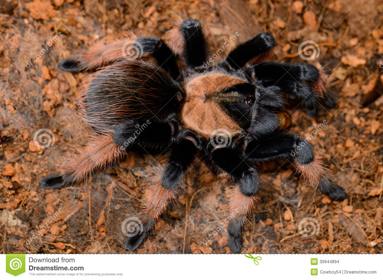 Mexican True Red Leg Tarantula(Brachypelma Emilia) Stock Images.