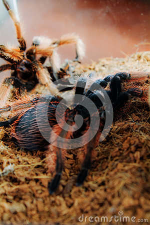 Gele Tarantula Terrarium Stock Photos, Images, & Pictures.
