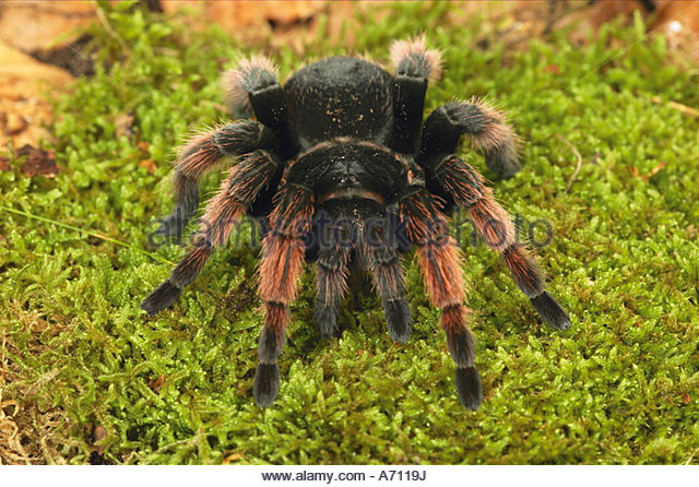 Tarantula Eating Stock Photos & Tarantula Eating Stock Images.