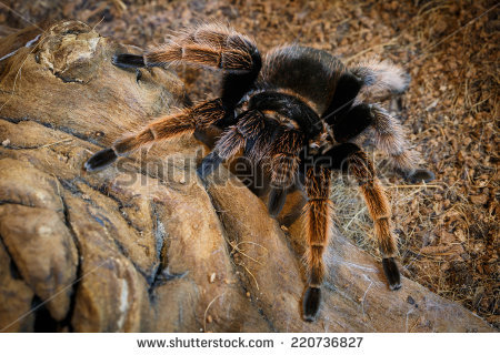 Tarantula Brachypelma Albopilosum Natural Environment Stock Photo.