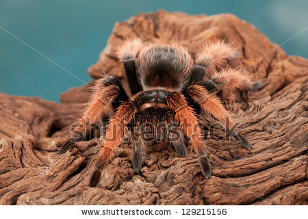 Mexican Pink Beauty Tarantula Stock Photos, Royalty.