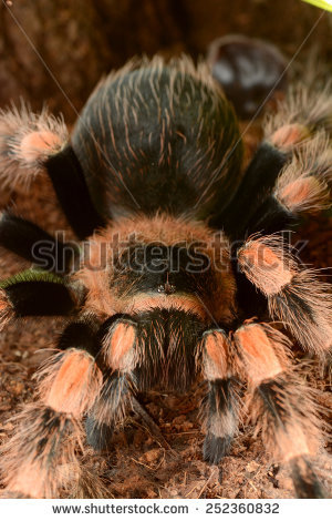 Mexican Red Knee Tarantula Stock Photos, Royalty.