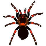 Mexican Redknee Tarantula Brachypelma Smithi Spider Female Stock.